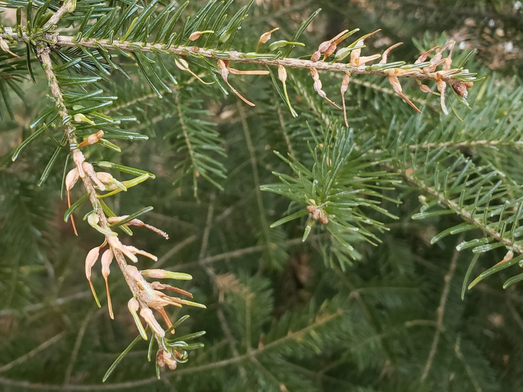 Balsam fir needles with swellings caused by balsam gall midge will turn brown and drop from the tree prematurely.