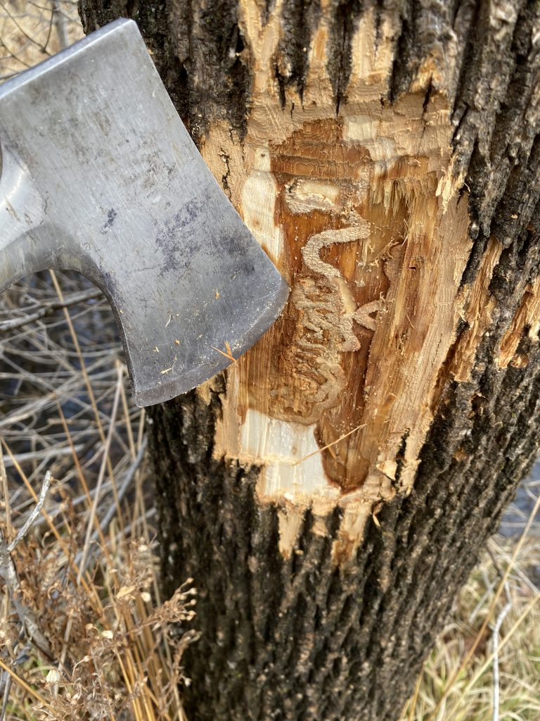 Bark removed using hatchet to show EAB larval galleries underneath.