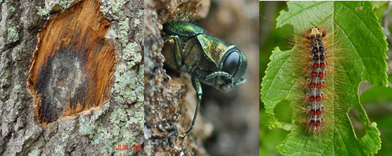 A set of images showing an oak wilt spore pad, an emerald ash borer beetle emerging from a tree and a gypsy moth caterpillar on a leaf.