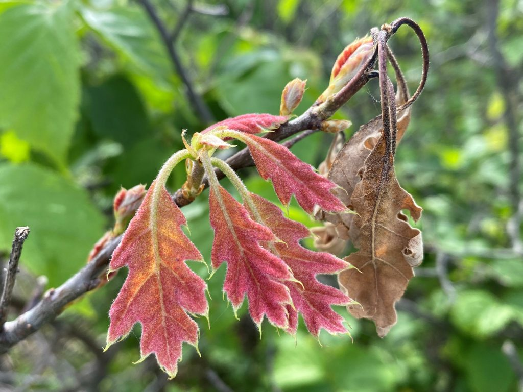 Leaves that were sent out after the frost/freeze event were reddish in color and in many areas remain a reddish color even as the leaves have enlarged.