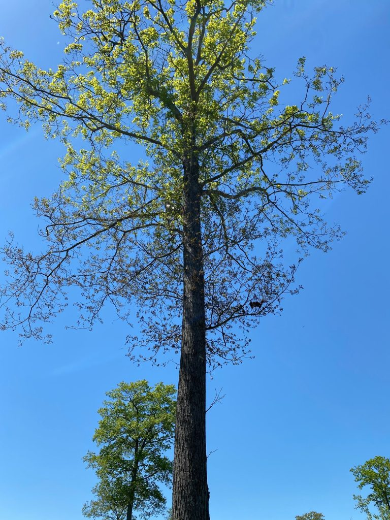 The frost/freeze affected the leaves in the lower canopy of this large tree out in the open. Photo by Ryan Brown.