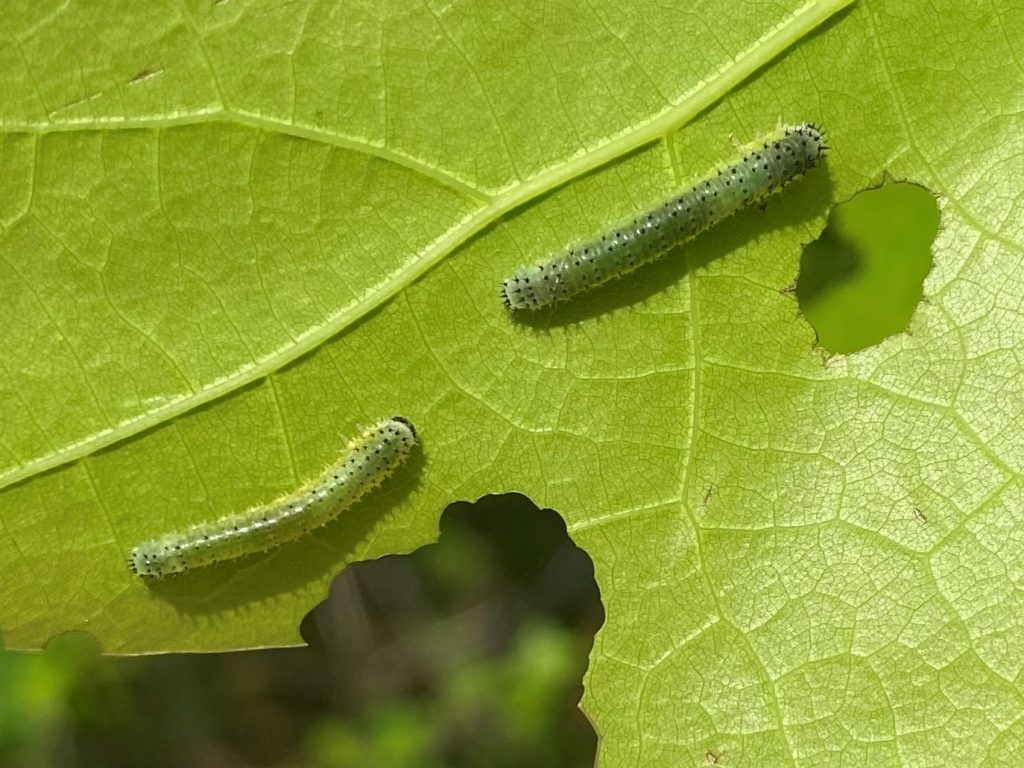 The small sawfly larvae feed on leaf material between the veins of the leaf.