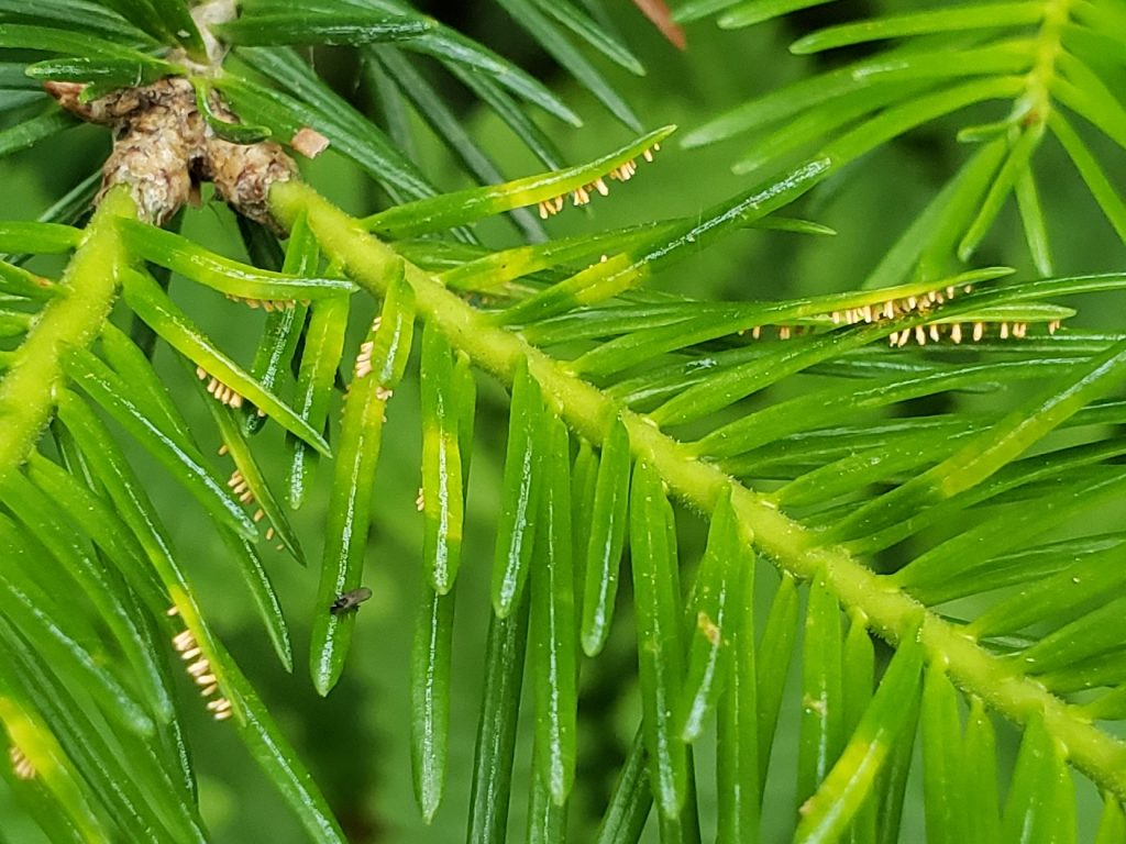 Close up showing the rust pustules that erupt from the underside of needles.