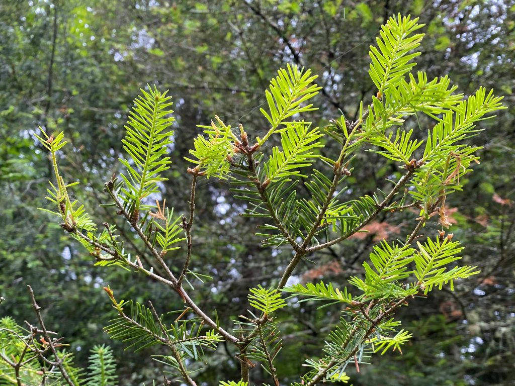 Spruce branches showing defoliation, older needles and new, bright green needles.