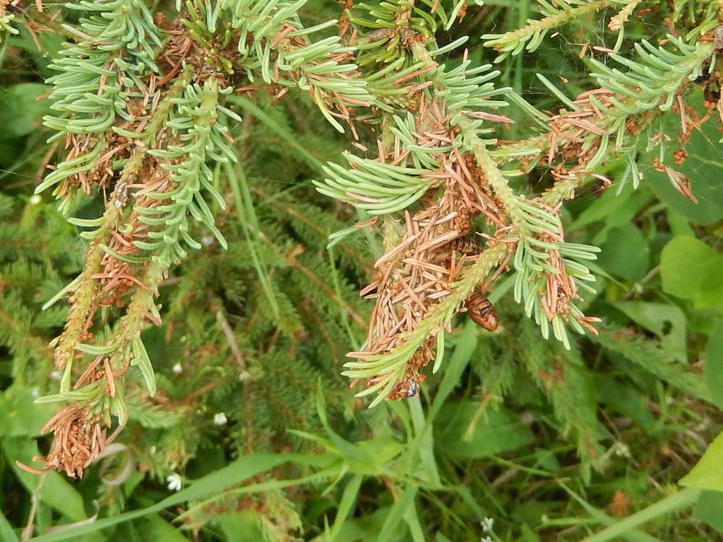 Compared to yellowheaded spruce sawfly, the defoliation by spruce budworm is messy, with dead needles, webbing, and frass.