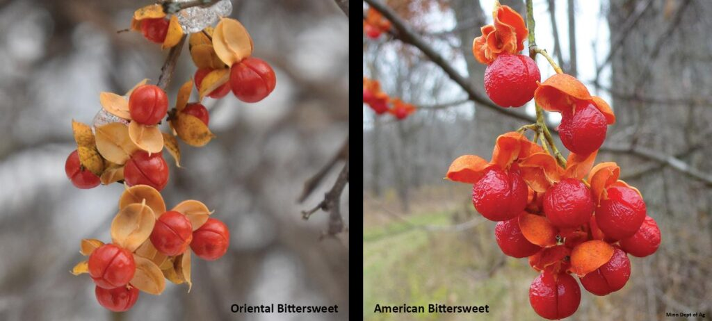 Side-by-side comparisons showing Oriental Bittersweet versus American Bittersweet fruit color and growth position on stem.