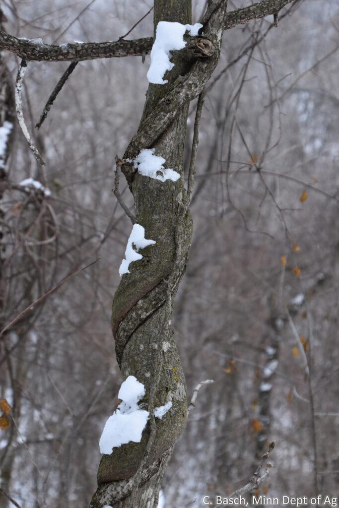 Oriental bittersweet woody vine twines up tree, girdling tree trunk