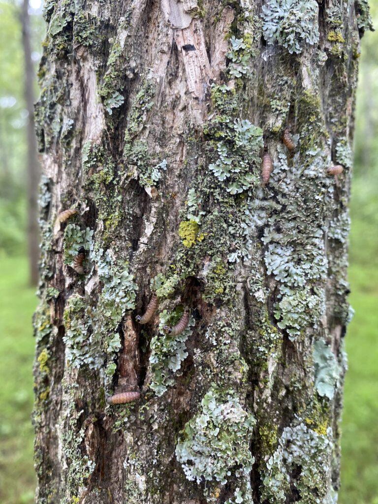 G. amatana caterpillars on tree.