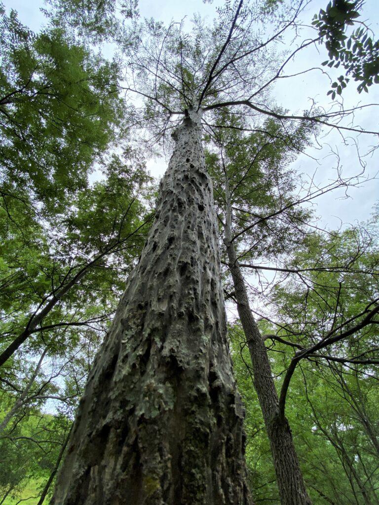 A webbed and defoliated black walnut tree in Green County, Wisconsin.